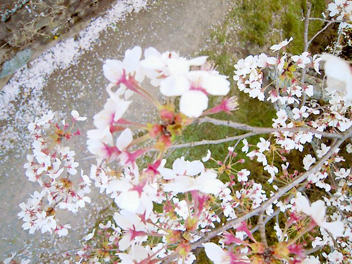 前撮り 桜のシーズン